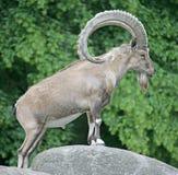 1 nubian ibex Arkivfoto