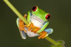 (1) oka żaby czerwieni drzewo Obrazy Royalty Free