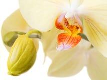 1 orchidea Zdjęcie Stock