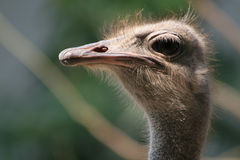 #1.Ostrich portrait. Stock Photo
