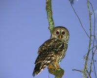 1 owl Arkivfoton