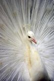 1 påfågelwhite royaltyfri foto