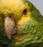 1 papegoja Royaltyfria Bilder