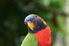 1 papegoja Fotografering för Bildbyråer