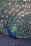 1 peacock Στοκ Εικόνες