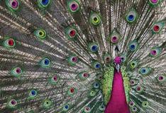 1 peacock psychedelic Στοκ εικόνες με δικαίωμα ελεύθερης χρήσης