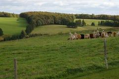 1 pei προβατοκαμήλων στοκ εικόνες