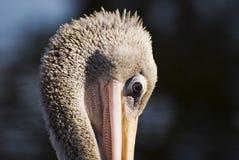 1 pelikan Obrazy Stock