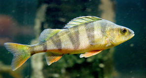 1 perch Royaltyfria Foton
