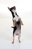1 pies chihuahua Zdjęcie Stock