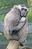 1 pileated gibbon Стоковое Изображение