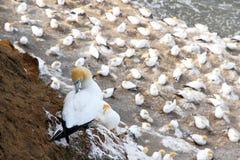(1) plażowy koloni gannet muriwai Obrazy Stock