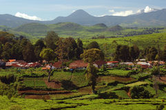 (1) plantaci herbata Obrazy Stock
