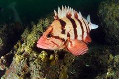 1 poisson oscille le tigre Image libre de droits