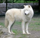 1 polara wolf Royaltyfria Foton