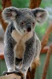 1 ponoszą koala Zdjęcia Stock