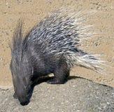 1 porcupine Arkivbild