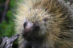 1 porcupine Στοκ Φωτογραφία