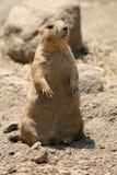 #1.Prairie Hund. Lizenzfreies Stockfoto