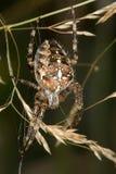 (1) przecinający pająk Obrazy Stock