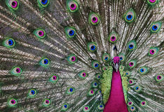 1 psychedelic påfågel Royaltyfria Bilder