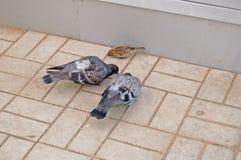(1) ptaki miastowi Obrazy Stock