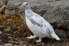 1 ptarmigan Obraz Royalty Free
