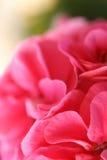 1 różowy kwiat Obraz Royalty Free
