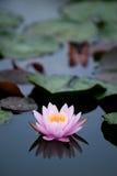1 rosa vatten för lilja Arkivbild