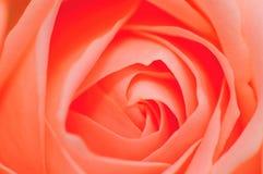 1 rose serie för pink Arkivbilder