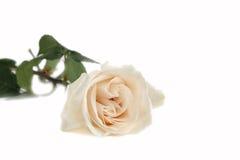 1 rosewhite Royaltyfria Bilder