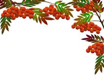 1 rowanberry Стоковое Изображение RF