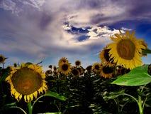 1 słonecznik pola Fotografia Royalty Free