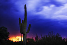 1 saguaro de stationnement national Photographie stock