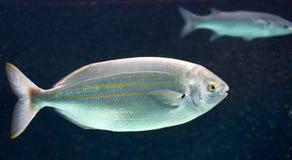 1 salema ψαριών Στοκ φωτογραφία με δικαίωμα ελεύθερης χρήσης