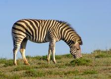 (1) samotna zebra Obrazy Stock