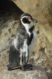 (1) samotnego pingwinu mała pozycja Fotografia Stock