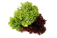 1 sativa lactucagrönsallat Royaltyfria Bilder