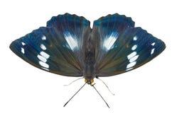 1 schrencki πεταλούδων apatura Στοκ φωτογραφία με δικαίωμα ελεύθερης χρήσης
