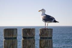 1 seagull κολόβωμα Στοκ φωτογραφίες με δικαίωμα ελεύθερης χρήσης