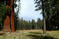 1 sequoiaträ Arkivbilder