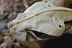 1 sharpnose蛇蝎 库存照片