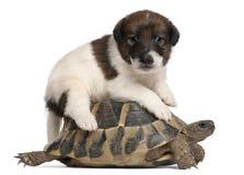 1 sköldpadda för terrier för valp för rävmånad gammala Arkivfoton