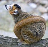 1 som krönas lemur Arkivfoto