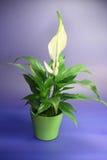 1 spathiphyllum floribundum Zdjęcie Royalty Free