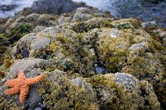 1 starfish Стоковое Изображение RF