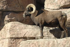 1 stora horn vaggar får Royaltyfri Bild