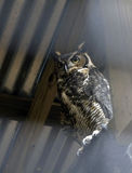1 stora horned owl Royaltyfria Bilder