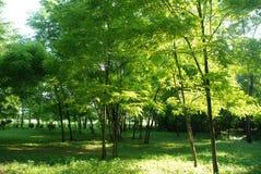 1 sunlit skog Fotografering för Bildbyråer