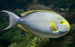 1 surgeonfish Στοκ Φωτογραφίες